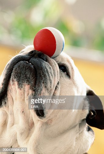 Bulldog balancing ball on snout, close-up : Stock Photo
