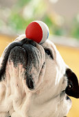 Bulldog balancing ball on snout, close-up