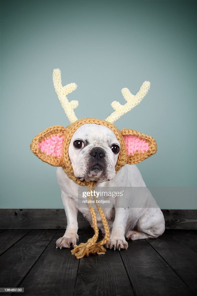 bulldog con disfraz de reno : Stock Photo