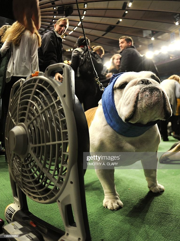 A Bulldog cools off in the ring during the 136th Westminster Kennel Club Annual Dog Show held at Madison Square Garden. February 13, 2012. The English bulldog, with its squat, face, enormous under bite and bulging eyes -- has surged in popularity in recent years. But the very traits that make them lovable are causing the dogs to suffer chronic health problems. The British Kennel Club has revised its standards for the breed. But American enthusiasts, at least for now, have no such plans.