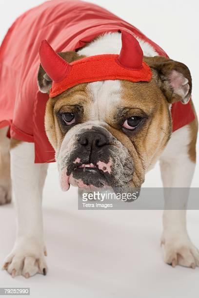 Bulldog dressed as a devil