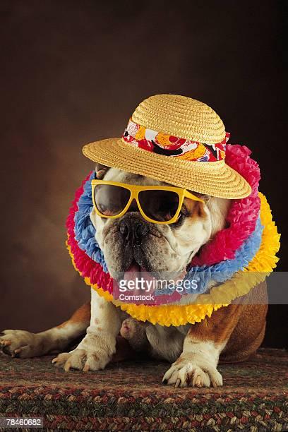 Bulldog dressed up as Hawaiian tourist