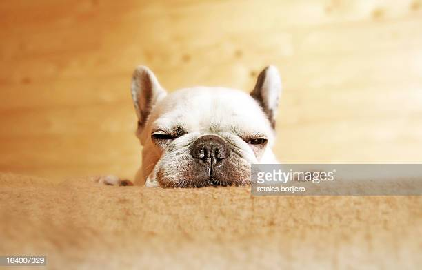 bulldog durmiendo