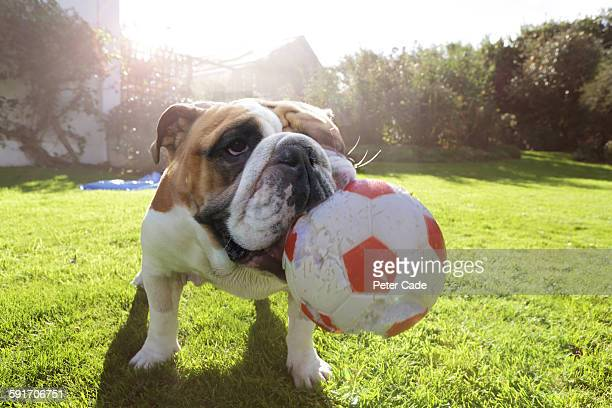Bulldog in garden with large ball