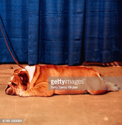 Bulldog Lies on Stage : Stock Photo