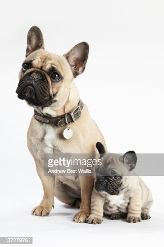 Bulldog mother watches over her puppy : Stock Photo
