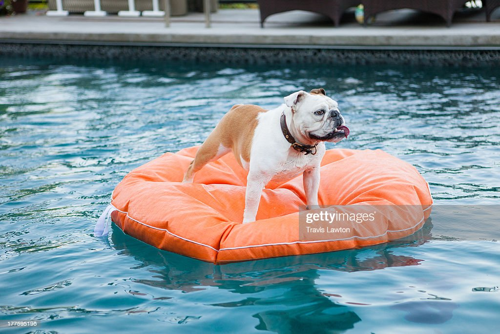 Bulldog on Water