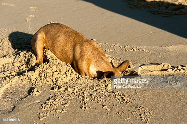 Bulldog playing at beach of Mimizan Landes department in France