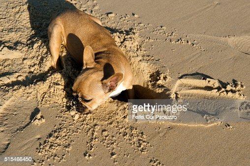 Bulldog playing at beach of Mimizan Landes department in France