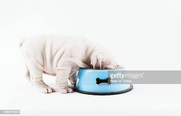 Bulldog puppy eating from dog bowl on white background