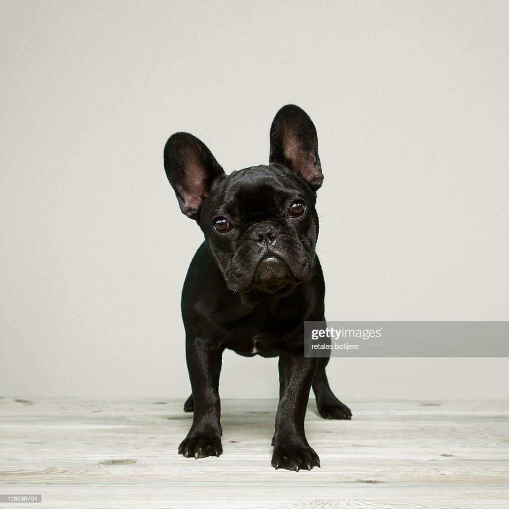 Bulldog puppy : Stock Photo