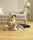 Bulldog Puppy Sitting Near Chewed Up Paperwork