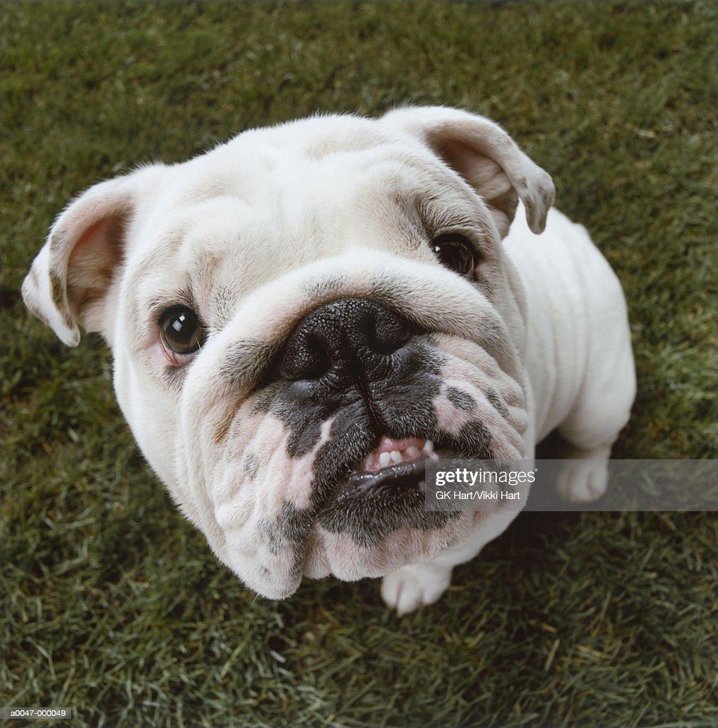 Bulldog Sitting on Grass : Stock Photo