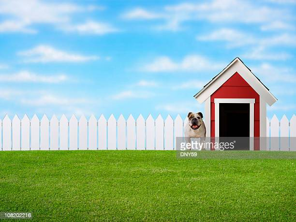 Bulldog Standing in Yard Beside Doghouse