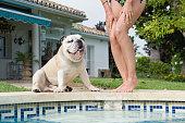 Bulldog staring at beautiful legs