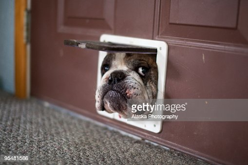 Bulldog trying to get through a catdoor