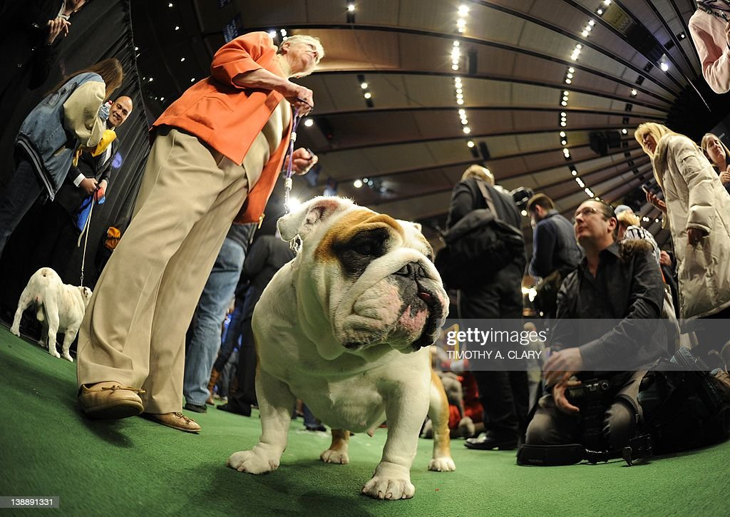 A Bulldog waits to go into the ring during the 136th Westminster Kennel Club Annual Dog Show held at Madison Square Garden. February 13, 2012. The English bulldog, with its squat, face, enormous under bite and bulging eyes -- has surged in popularity in recent years. But the very traits that make them lovable are causing the dogs to suffer chronic health problems. The British Kennel Club has revised its standards for the breed. But American enthusiasts, at least for now, have no such plans.