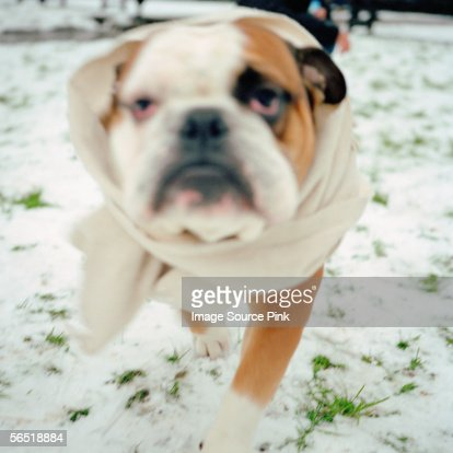 Bulldog wearing a bandage : Stock Photo