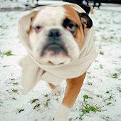 Bulldog wearing a bandage