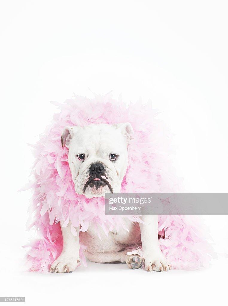 bulldog wearing feather boa : Stock Photo