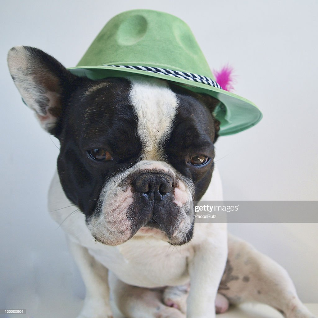 Bulldog with green hat : Stock Photo