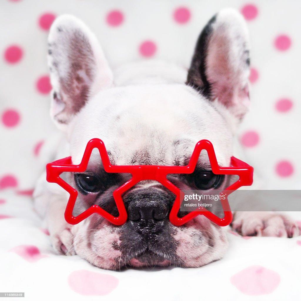 Bulldog with star glasses : Stock Photo