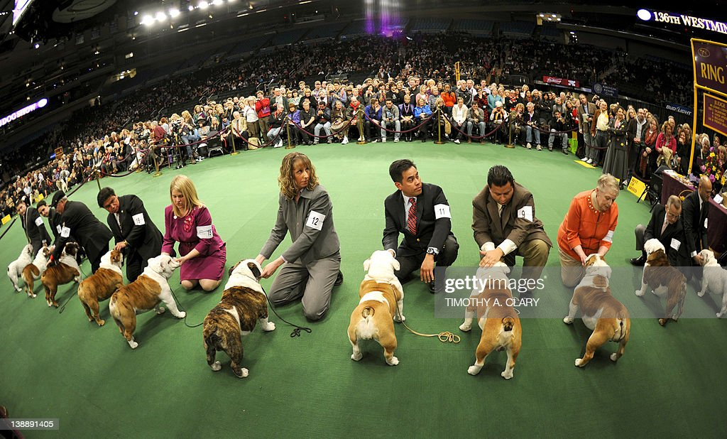 Bulldogs in the competiton ring during the 136th Westminster Kennel Club Annual Dog Show held at Madison Square Garden. The English bulldog, with its squat, face, enormous under bite and bulging eyes -- has surged in popularity in recent years. But the very traits that make them lovable are causing the dogs to suffer chronic health problems. The British Kennel Club has revised its standards for the breed. But American enthusiasts, at least for now, have no such plans. February 13, 2012.