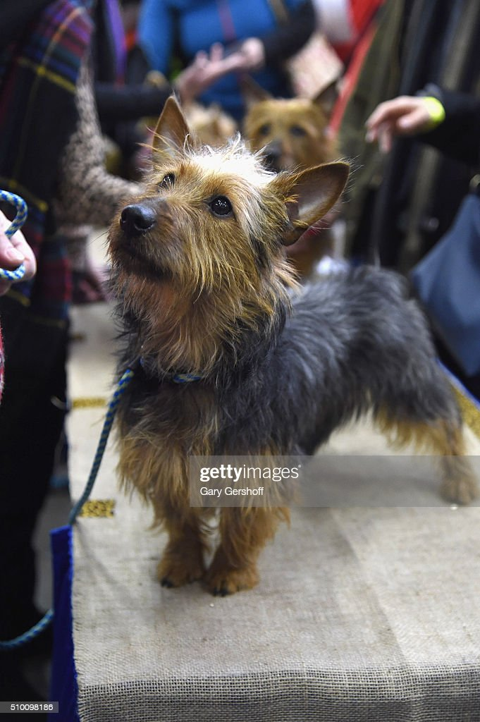 Bullet, a seven months old male Australian Terrier attends the 7th Annual AKC Meet The Breeds at Pier 92 on February 13, 2016 in New York City.