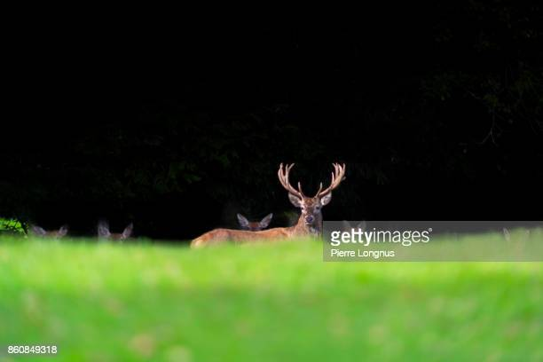Bullet deer hiding behind a hill in front of a group of female deer at the edge of a deep and dark forest in October during mating season, Gruyere region of Switzerland