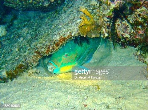 Bullethead Parrotfish at night
