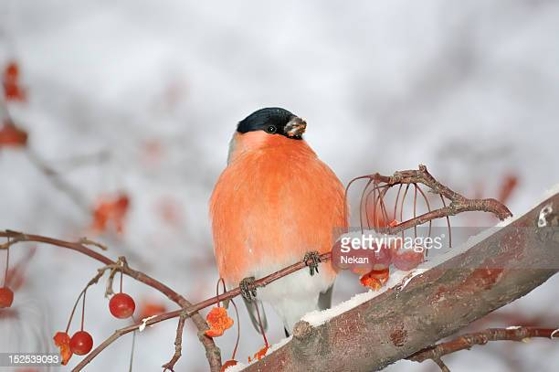 Bullfinch (Pyrrhula) on the snow-covered tree branches