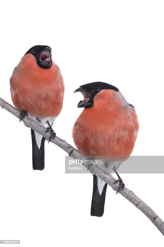 bullfinch : Stock Photo