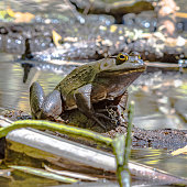 American Bullfrog (Rana catesbeiana) sitting on a log in a pond.