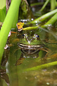 Bullfrog in a pond. New Jersey. USA