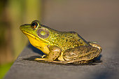Bullfrog portrait. New Jersey, USA.