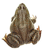 Bullfrog isolated on white