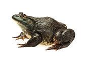 Bullfrog isolated on white