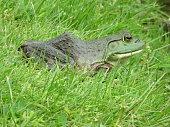 Bullfrog sitting in grass