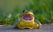 Bullfrog with mouth wide open. New Jersey, USA.
