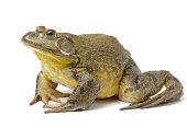 Bullfrog, Rana catesbeiana isolated on white background