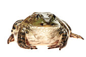 Bullfrog, Rana catesbeiana, isolated on white background