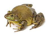 Bullfrog, Rana catesbeiana  isolated on white. With clipping path