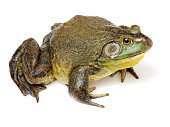 Bullfrog, Rana catesbeiana,  isolation on white background