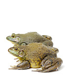 Bullfrog, Rana catesbeiana, on white background