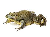 Bullfrog, Rana catesbeiana on white background