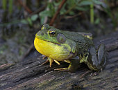 An American Bullfrog (Rana catesbeiana) in the middle of a full ribbit.  Shot in Cambridge, Ontario, Canada.