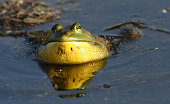 Male Bullfrog (Rana catesbeiana) singing  in water.
