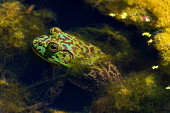 A bullfrog sits in pond waiting for an insect to come close enough for it to catch.