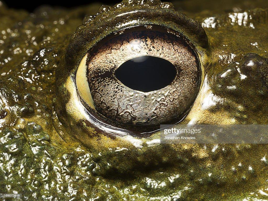 Bullfrog's eye, close up