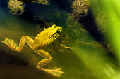 A bullfrog seemingly floats on the ponds surface as sunlight enlightens